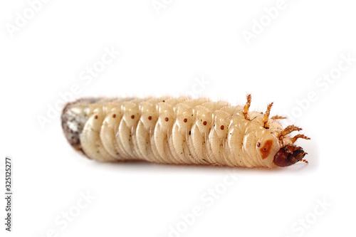 Valokuva Green rose chafer larva