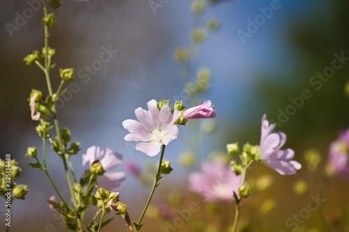 Fotografie, Obraz wild flower and fresh buds of musk malva in deep blue summer sky, beautiful infl