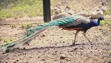 Peacock Walks Around The Yard