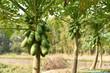 canvas print picture - papaya fruit on papaya tree in farm.