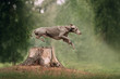 weimaraner dog jumps over a cut down tree in the forest