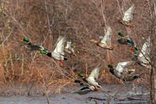 Mallard Ducks In Flight Mallards Taking Off Flying