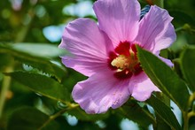 One Big Beautiful Pink Flower Closeup Among The Green Leaves