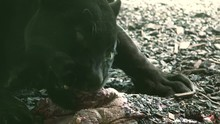 ULTRA HD 4K Real Time Shotthe Black Leopard Eating Food