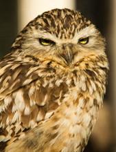 Burrowing Owl Close Up Portrait