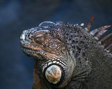 Iguana In Zoo