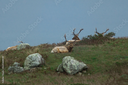 Valokuvatapetti Thule Elk resting in a field in Point Reyes National Park