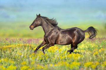 Fototapeta Koń Bay horse with long mane free run in flowers meadow