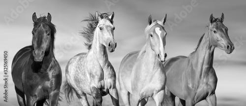 Fototapeta Horse herd run gallop in desert dust against dramatic sky.Black and white obraz na płótnie