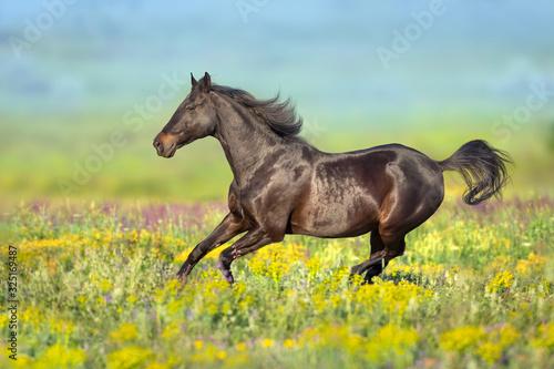 Fototapeta Bay horse with long mane free run in flowers meadow obraz