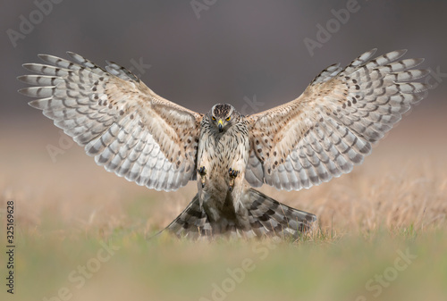 Northern goshawk (Accipiter gentilis) attacking Canvas Print