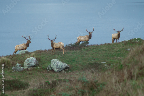 Valokuva Thule Elk Standing in on a hill