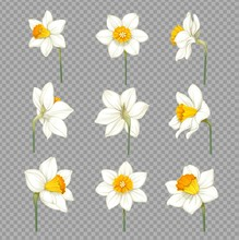 Daffodils White With Yellow Ce...