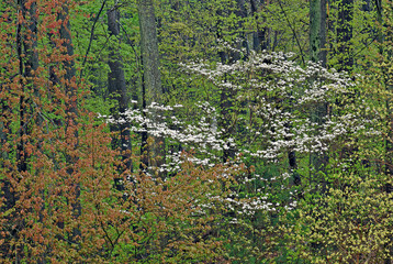 Panel Szklany Inspiracje na wiosnę Spring landscape of forest with dogwoods in bloom, Lake Doster, Michigan, USA
