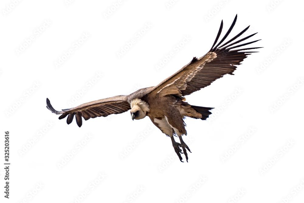 Fototapeta Griffon vulture flying on white background