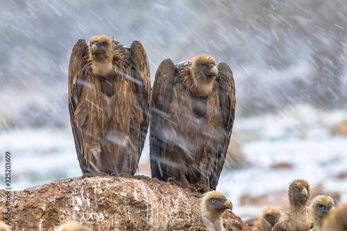 Photo Griffon vulture couple perched on rock
