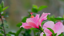 Pink Hibiscus Flower With Boke...