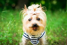 Portrait Of Yorkshire Terrier On Green Grass