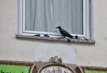 Common Sigh In Germany Where Scary Black Decoy Crows Are Placed On Windowside But They Are Effective As The Surroundings Are Full Of Bird Poop