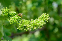 Honey Bees Pollinating Vine Bl...