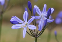 Agapanthus Flowers, African Lily