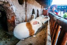 Andean Guinea Pig From Cusco Peru