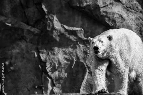 Polar Bear walking about Wallpaper Mural