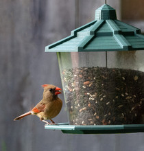 Female Northern Cardinal With Buff Brown Feathers, Red Beak, And Red Tinges On Crest And Wings, Is Eating A Seed While Perched On A Green And Clear Bird Feeder Against A Blurred Wood Background.