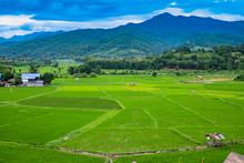 Rice Field In Pua District