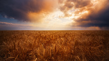 A Wheat Field On A Farm At Sunset On The Eastern Plains Of  Colorado. There Is A Very Dramatic Sunset.