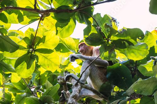 Photo Proboscis monkey (Nasalis larvatus) or long-nosed monkey