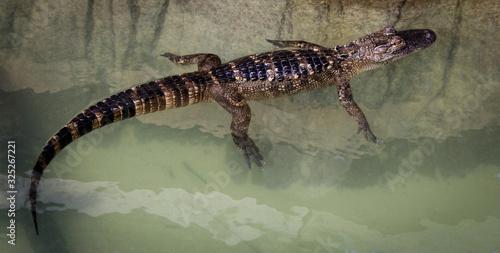 Leinwand Poster Miniature crocodile in Orlando, Florida