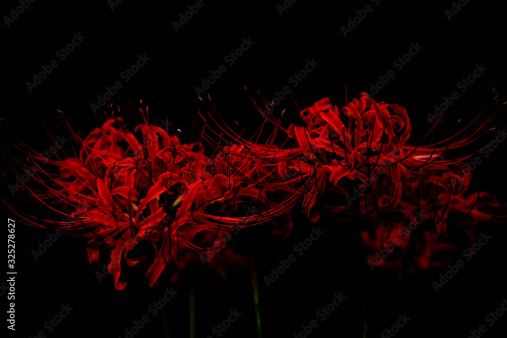 Fototapeta Nature red spider lily red background.