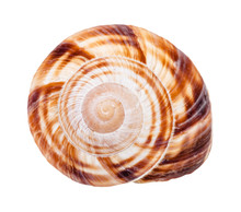 Helix Shell Of Burgundy Snail ...