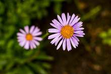 Two Purple Blooms Of Aster. Jagged Violet Leaves Of Bloom Around Yellow Center.