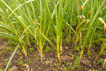 Green Onion, Field Of Spring Onions Sprout On The Field. Organically Grown Onions In The Soil