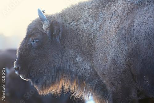 Valokuva Aurochs bison in nature / winter season, bison in a snowy field, a large bull bu