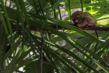 Tarsier On Tree Sanctuary Core...