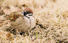 Cute Little Sparrow In Looking...
