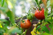 Red And Green Tomatoes Hang In A Greenhouse In The Garden. The Harvest In The Fall.