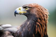 Eagle. Golden Eagle Head Detai...