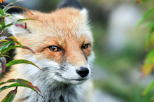 Red Fox Eyes. Red Fox Head Detail. Vulpes Vulpes