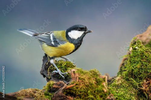 Fotografie, Tablou Great tit sitting on wooden stump with green moss