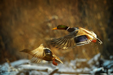 Duck Fly In Winter. Two Duck Is Flying Over The River. Evening Light Ducks Fly. Anas Platyrhynchos