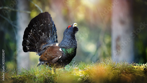 Capercaillie, Tetrao urogallus in deep forest