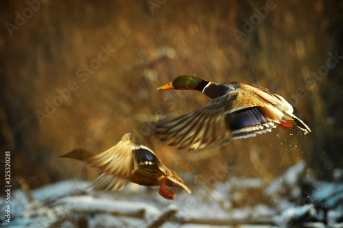 Fotografie, Obraz Duck fly in winter
