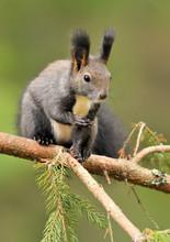 Red Squirrel On Brach In Summer. Sciurus Vulgaris. Squirrel Close Up.
