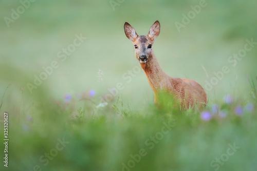 Stampa su Tela Roe deer standing in forest natural habitat.
