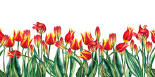 Seamless Bottom Border Of Realistic Red Tulips. Wild Meadow Spring Flowers In Natural Growth. Watercolor Hand Painted Isolated Elements On White Background.