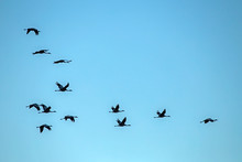 A Flock Of Cranes Flying On The Blue Sky. Common Crane Or Eurasian Crane (Grus Grus).
